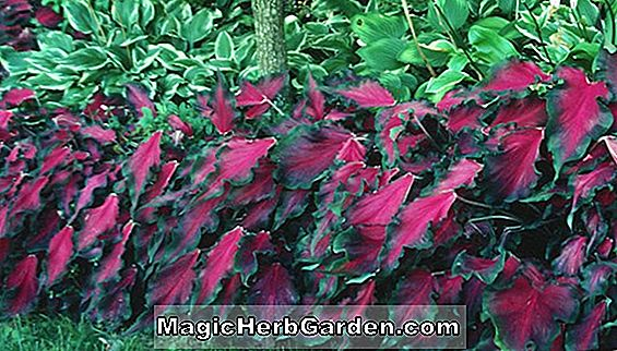 Caladium bicolor (Freida Hemple Caladium) - #2