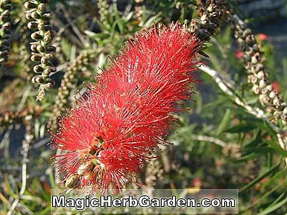 Callistemon rigidus (Stiff Bottlebrush) - #2