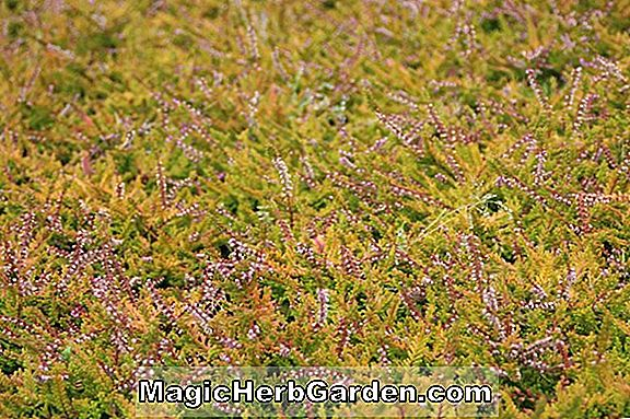 Calluna vulgaris (Wickwar Flammenheide)