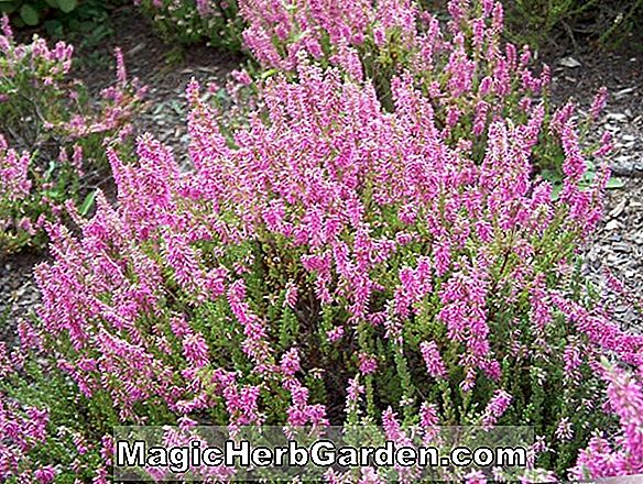 Calluna vulgaris (Inshriach Bronze Heather) - #2