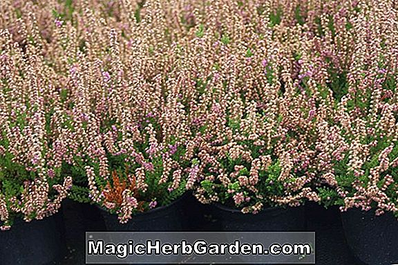 Calluna vulgaris (Roter Teppich Heather) - #2