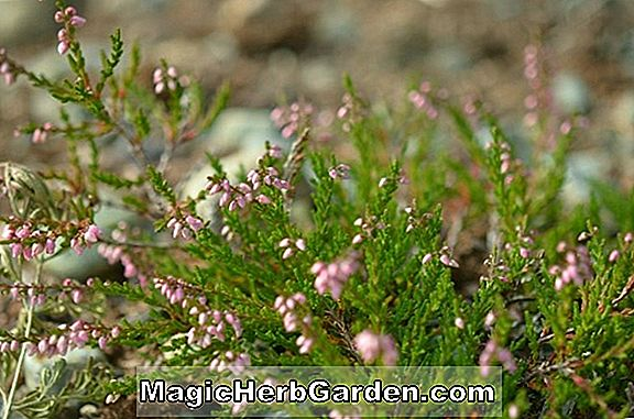 Calluna vulgaris (J. H. Hamilton Heather) - #2