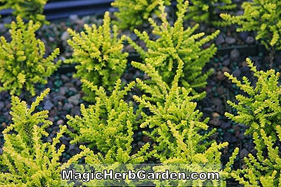 Calluna vulgaris (John F.Letts Heather) - #2