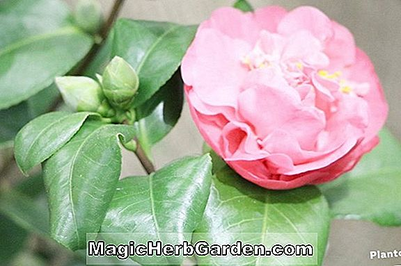 Kamelie japonica (Betty Sheffield Dream Camellia) - #2