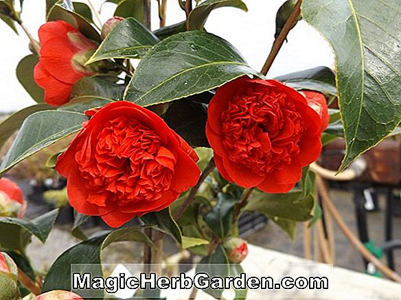 Camellia japonica (Dolly Dyer Camellia)