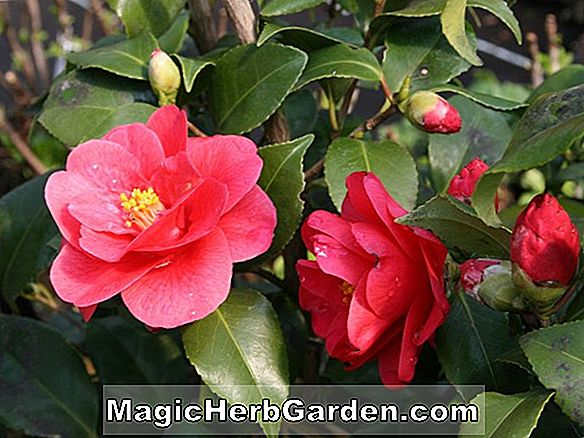 Kamelie japonica (Mary Alice Cox Camellia)