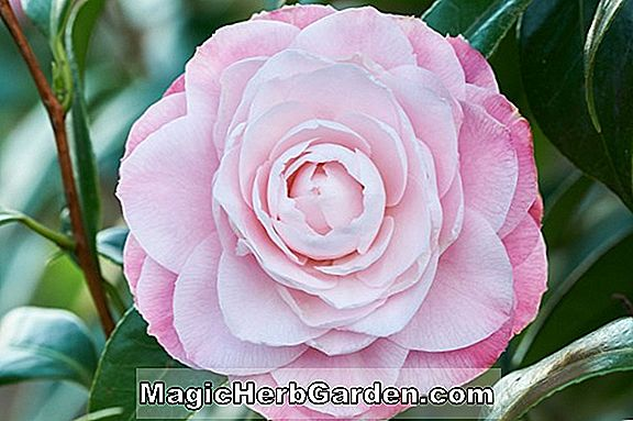 Camellia japonica (Madame Butterfly Camellia)