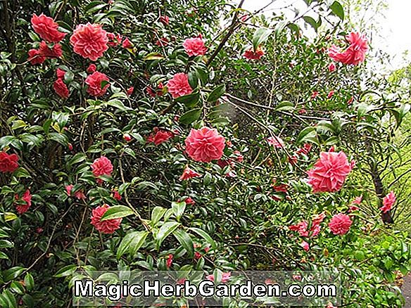 Kamelie japonica (Madame Butterfly Camellia)
