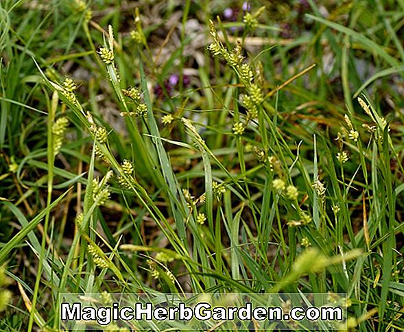 Carex pallescens (Bleichsege)