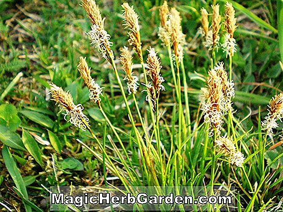 Carex caryophyllea (carapace de printemps des Beatles Carex)