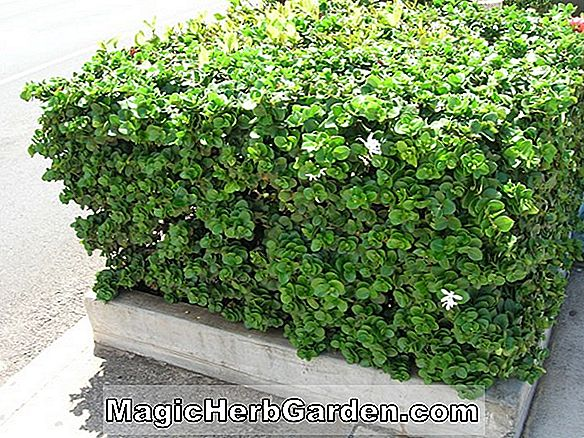 Ilex cornuta (September Beauty Holly)