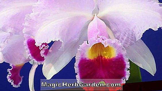 Cattleya trianae (Cattley-Orchidee)