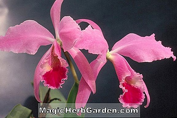 Cattleya walkeriana (Cattleya Orchidee)