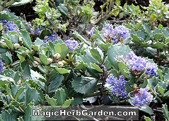 Ceanothus gloriosus (Point Reyes Kletterpflanze)