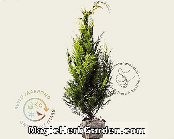 Plantes: Chamaecyparis lawsoniana (Squarrosa False Cypress)