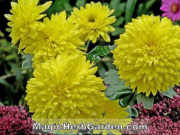 Chrysantheme (Chrysantheme am Ende des Tages)