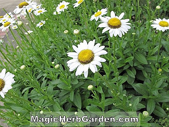 Pflanzen: Chrysanthemum Maximum (Shasta Daisy)