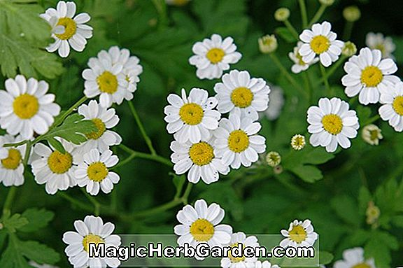 Pflanzen: Chrysanthemum parthenium (Goldener Ball Feverfew)