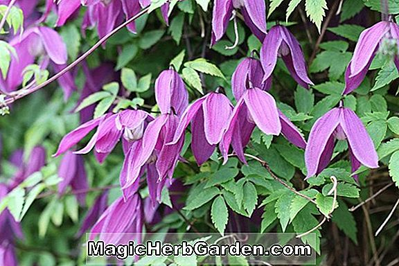Clematis alpina (Tage Lundell Alpen Clematis) - #2