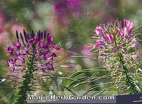 Pflanzen: Cleome hassleriana (Spinnenblume Cleome)