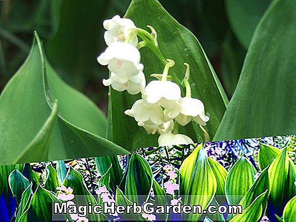Convallaria majalis (Prolificans Lily-of-the-Valley)