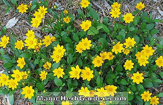 Coreopsis auriculata (Schnittgold Coreopsis)