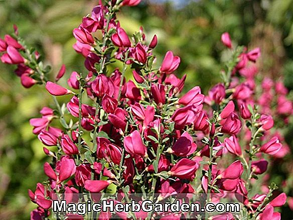 Cytisus scoparius (Roter Lieblings Scotch Besen)