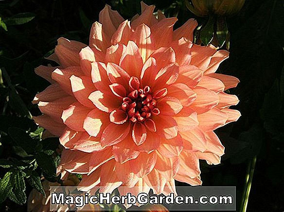 Dahlie hybrida (Betty Anne Dahlia)