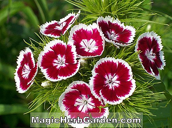 Dianthus barbatus (Süßer William) - #2