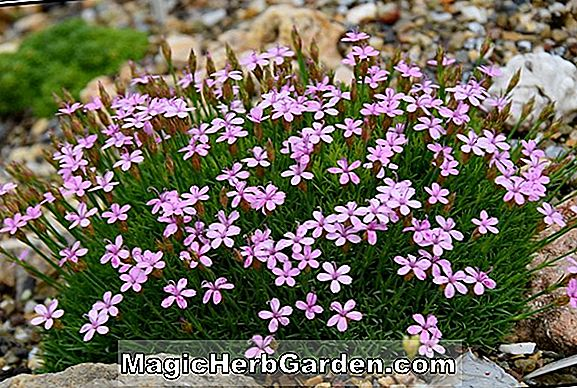 Dianthus microlepis (Dianthus)