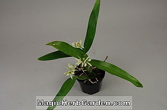 Encyclia fragrans (Enzyklika Orchidee)