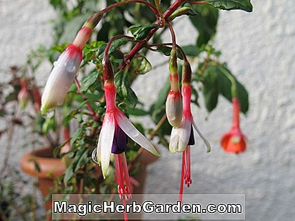Fuchsie (Major Heaphy Fuchsie)
