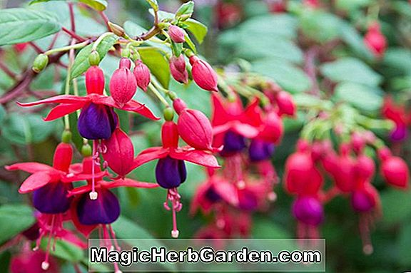 Fuchsie (Pink Shower Fuchsia) - #2
