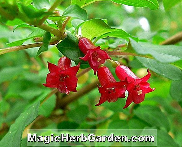 Tumbuhan: Fuchsia (April Fuchsia)