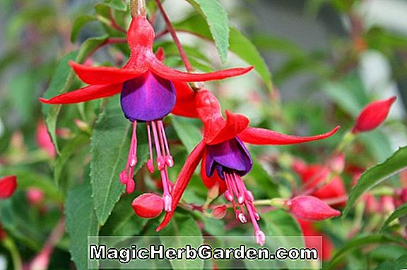 Fuchsia magellanica (Chance Encounter Fukszia) - #2