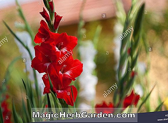 Gladiole (Happy End Gladiole) - #2