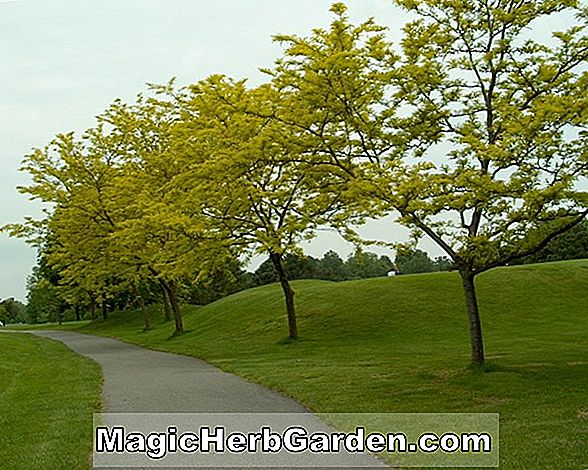 Gleditsia triacanthos (Sunburst Honey Locust) - #2