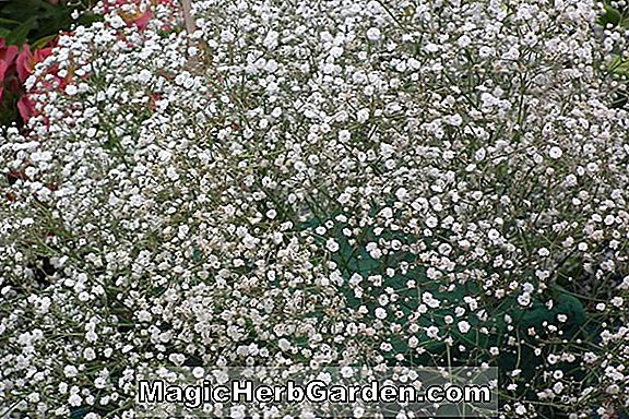 Gypsophila elegans (Covent Garden Baby's Breath)