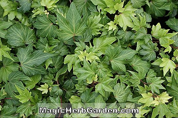 Hedera colchica (perzsa Ivy)