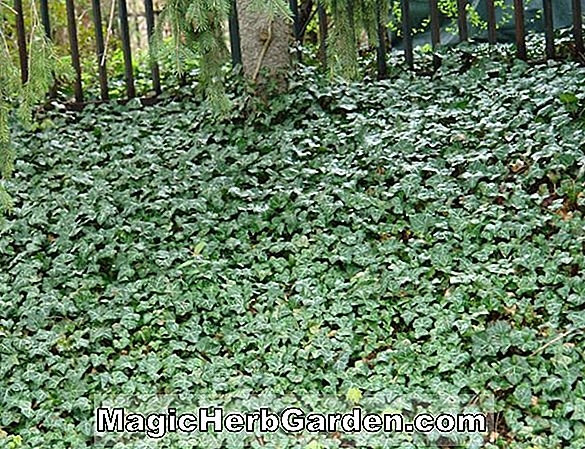 Plantes: Hedera helix (Boskoop English Ivy)