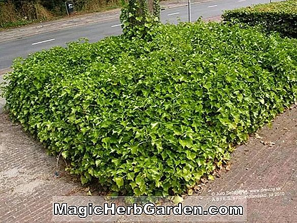 Hedera Helix (Curly Locks Englisch Ivy) - #2