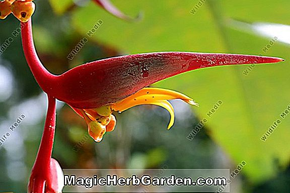 Heliconia nutans (Nutans Heliconia) - #2