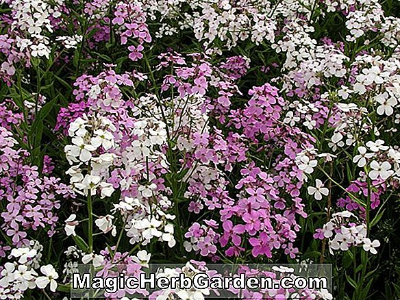 Hesperis matronalis (Purpurea Plena Wilder Phlox)