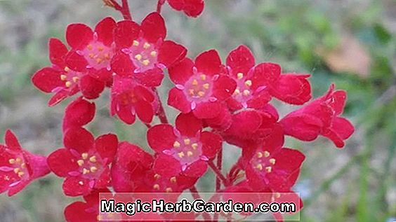 Heuchera sanguinea (Splendens Coral Bells)