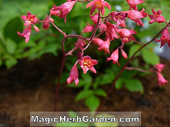 Heuchera sanguinea (Windfeldrosa Korallenglocken)
