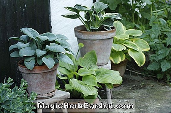 Hosta (Bold Edgar Hosta)