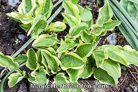 Hosta (Decorata Hosta)