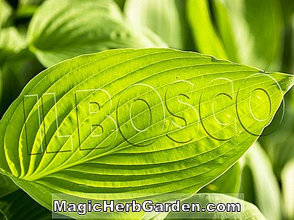 Hosta (Aphrodite Hosta)