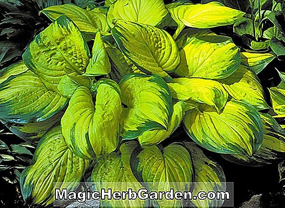 Hosta (duftendes Gold Hosta)