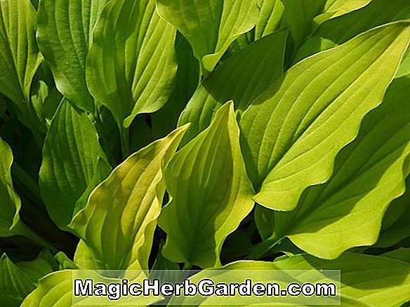 Hosta (Goldene Kreise Hosta)
